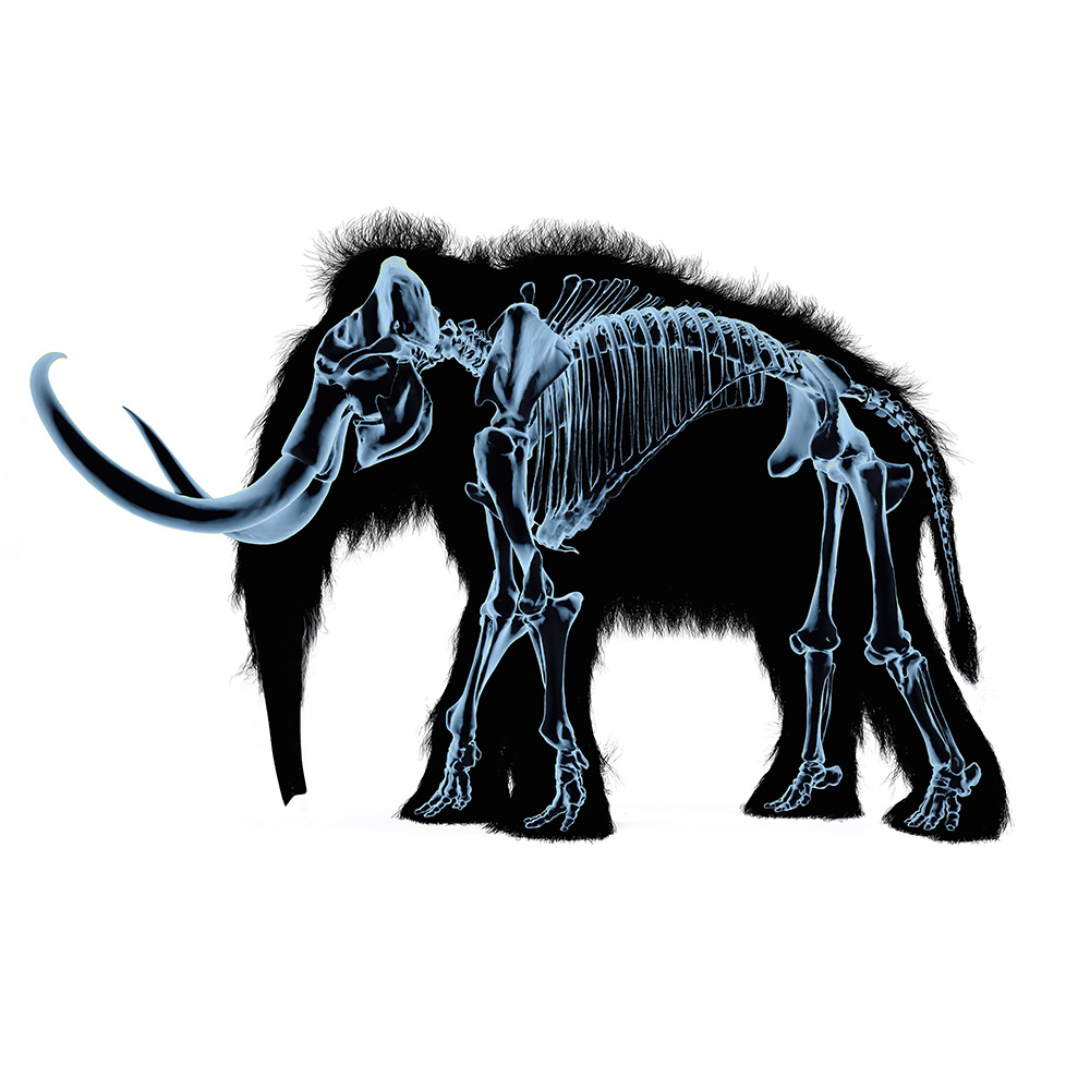 Woolly mammoth skeleton, x-ray effect. On black body silhouette and white background.