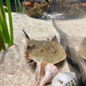Horseshoe crab in its tank