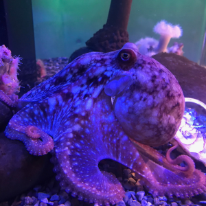 Red octopus in its tank