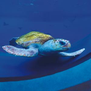 Sea turtle in its tank