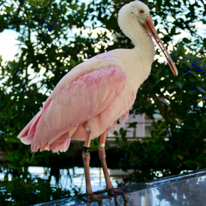 Spoonbill in the mangrove forest